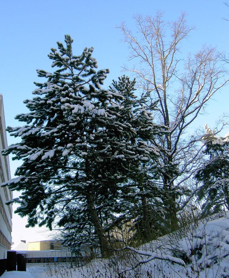 snö på gran