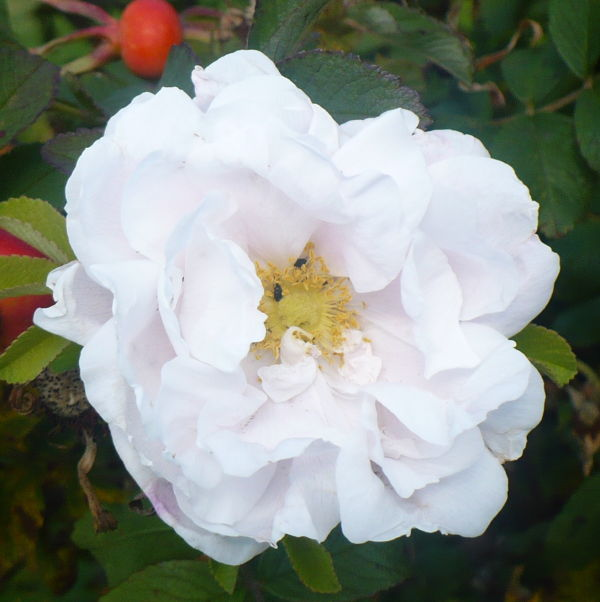 Blomma 46
