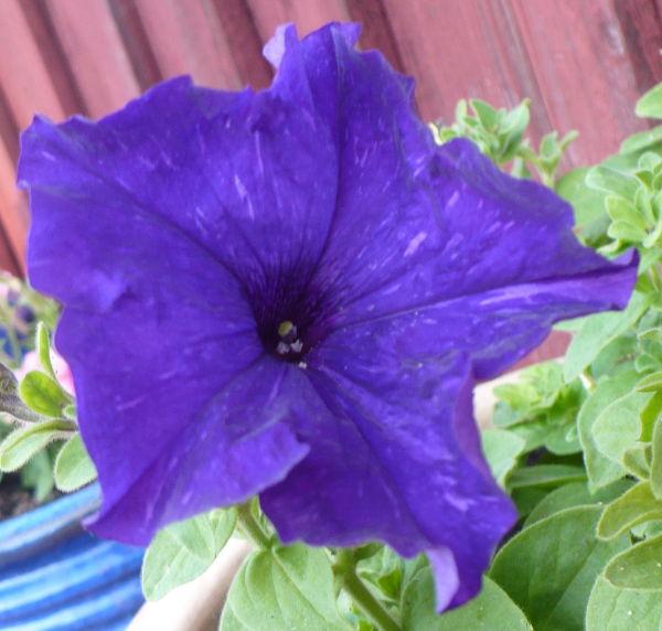 Blomma 66