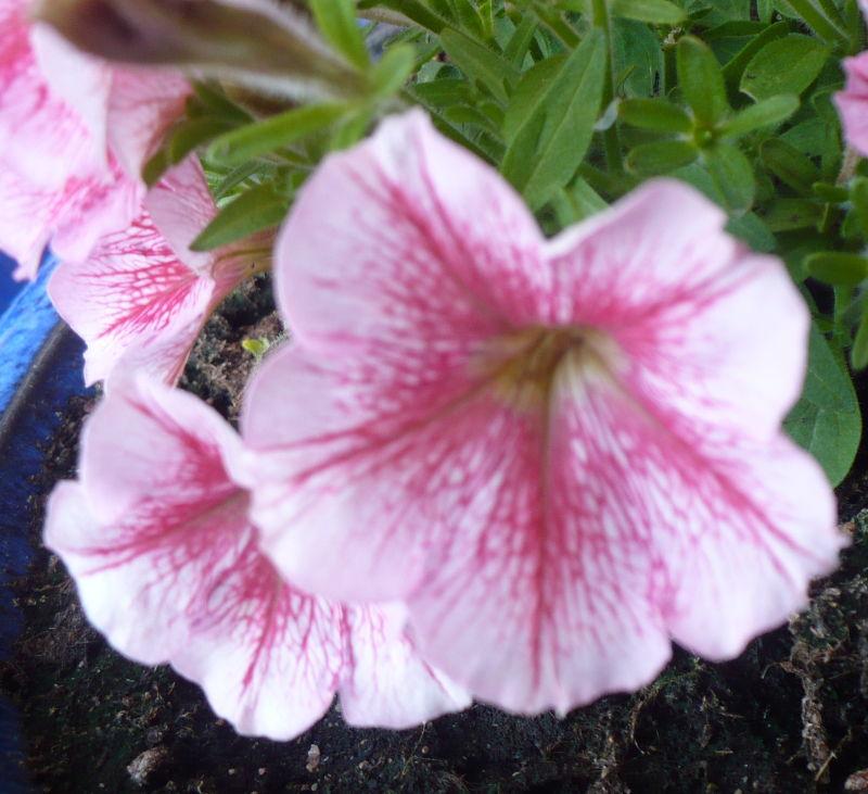 Blomma 95