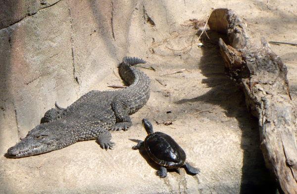 Krokodil på oarken zoo