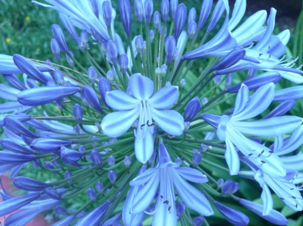 Blu Flowrs