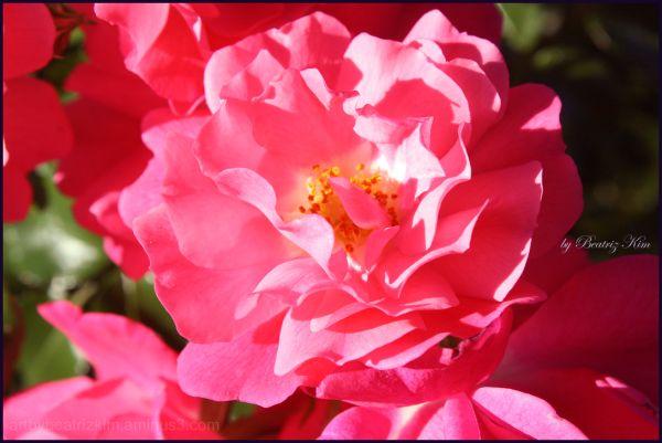 three roses