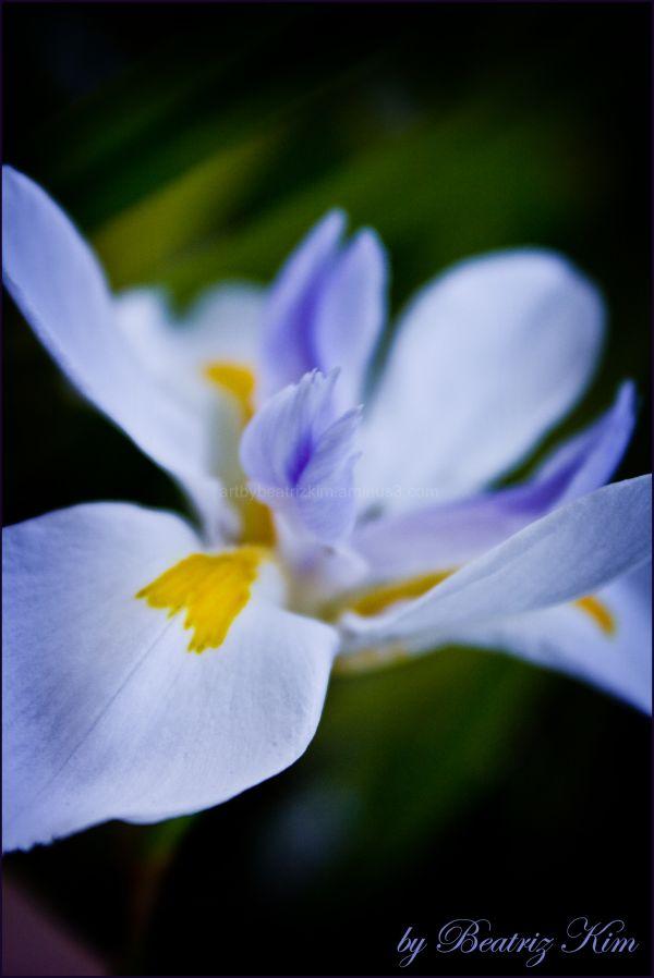 macro white and blue iris