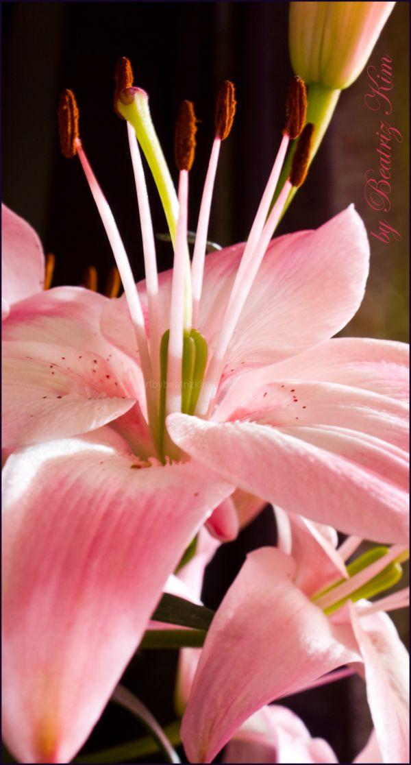 pink iris macro