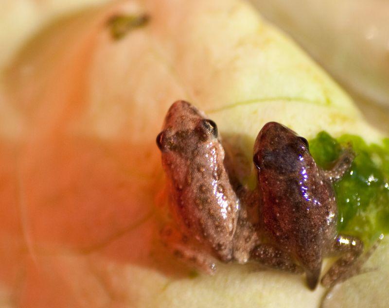 Frog twins