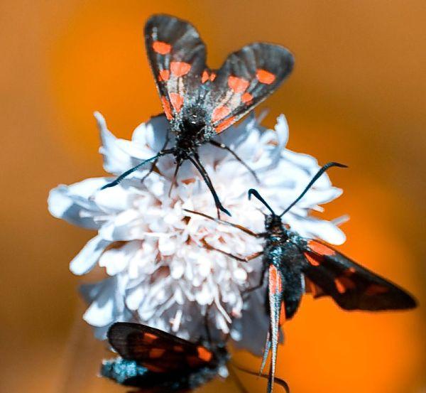 papillon Zygène de la spirée