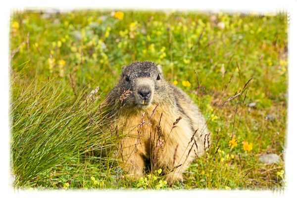 Marmotte dans le pré de madame Carle