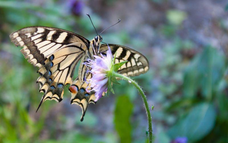 Papillon de montagne