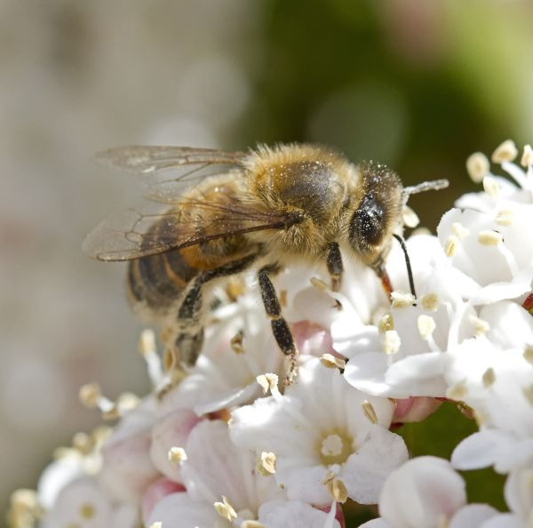 abeille 4