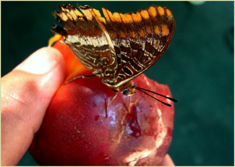 Sharing the fruit with a beautiful butterfly