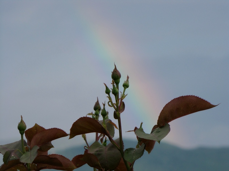 Rainbow behind the flowers