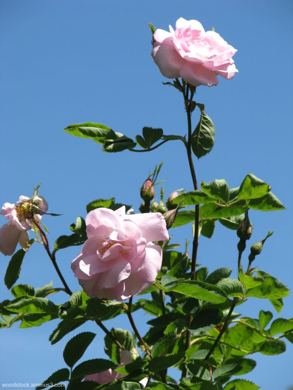 An English Rose