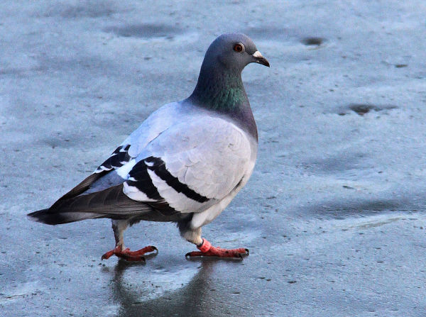 Pigeon On Ice