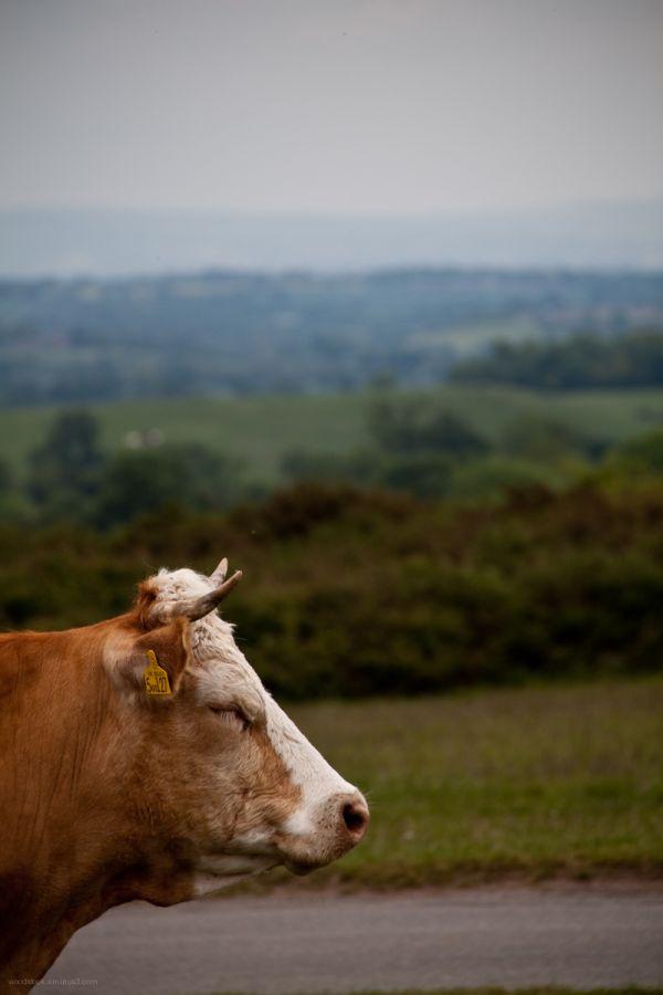 Dozy cow !