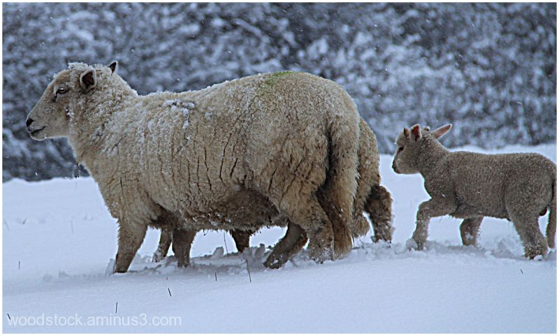 Cold Sheep !