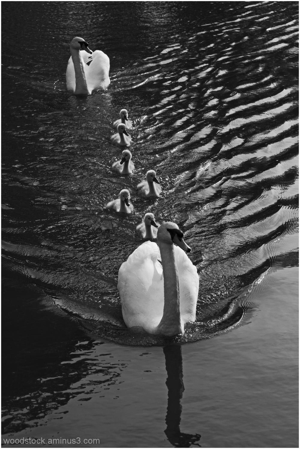 The Swan Family