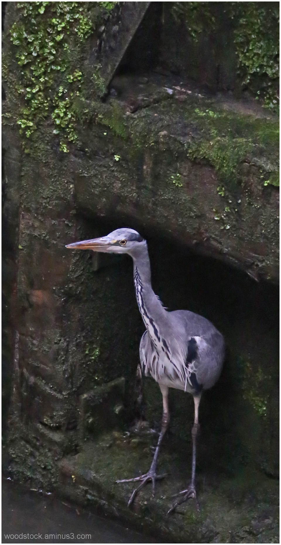 Heron on a lock gate.