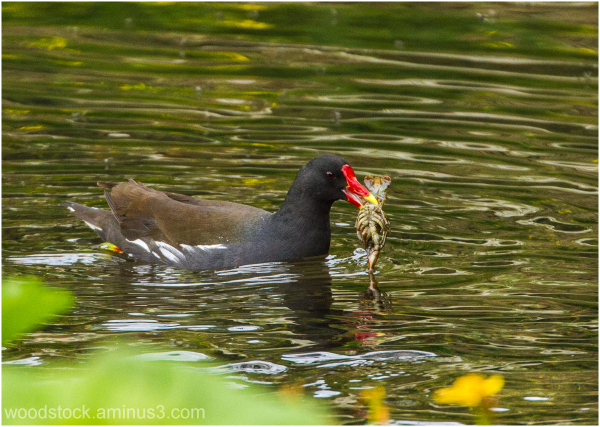 Moorhen With A Crayfish