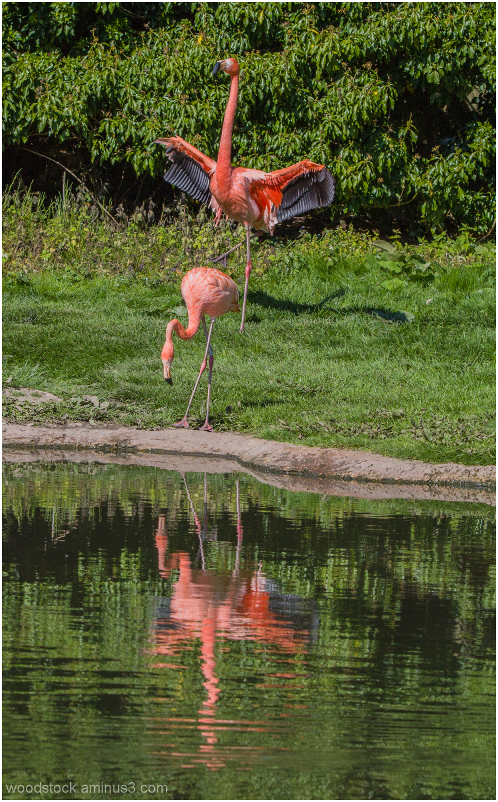 Flamingo at Slimbridge