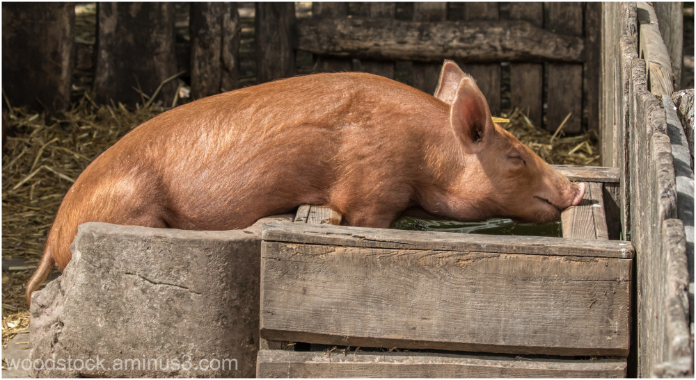Chilling Out in The Drinking Trough