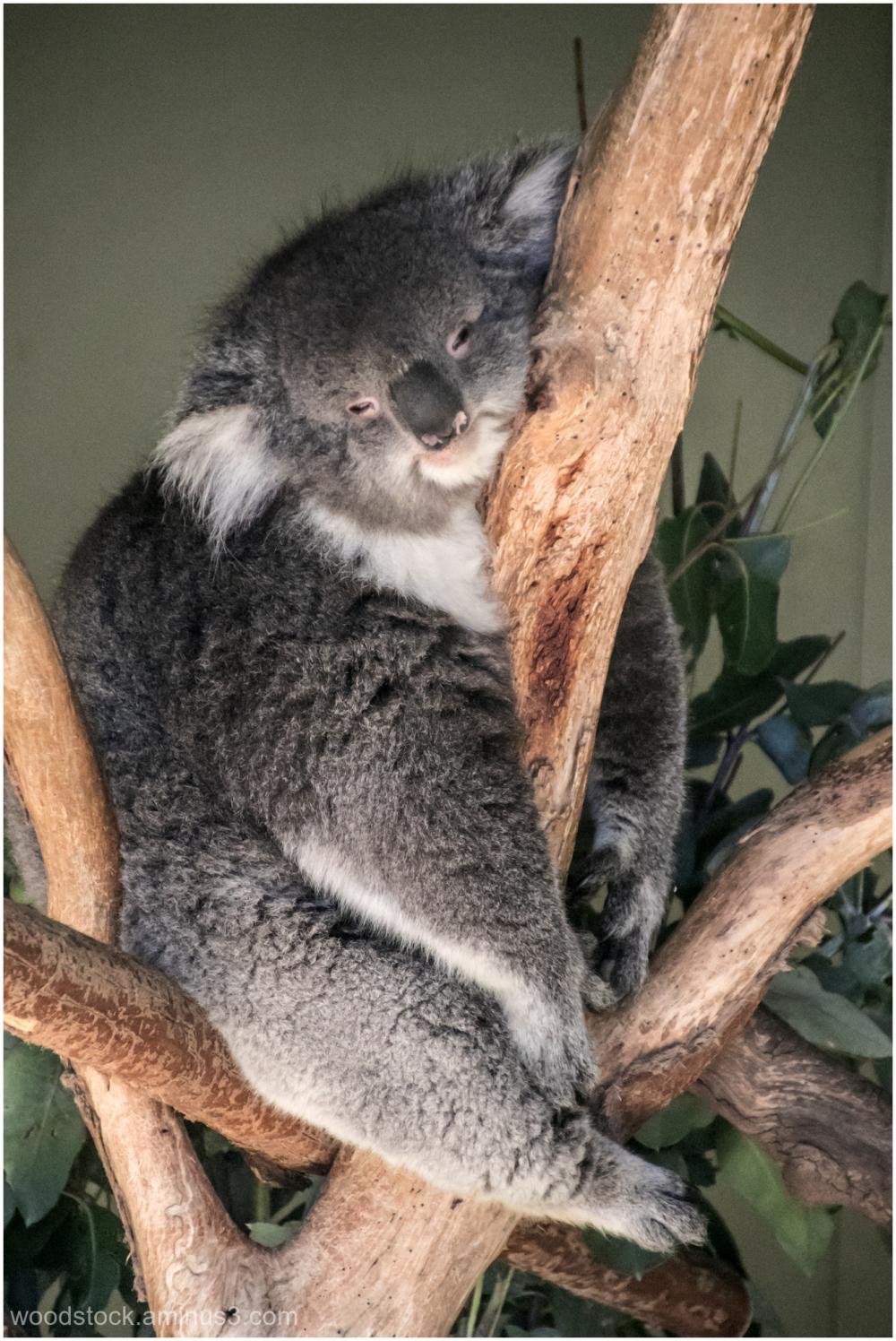 Doing What Koalas Do Best
