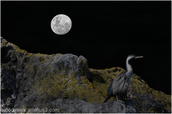 Nocturnal Cormorant