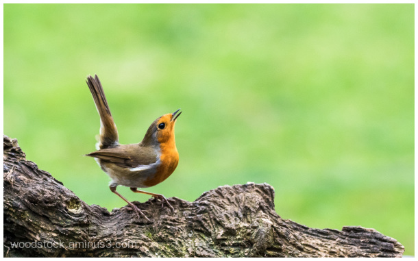 Robin With Attitude