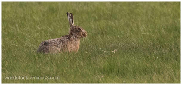 Hare at Cotswold Airport