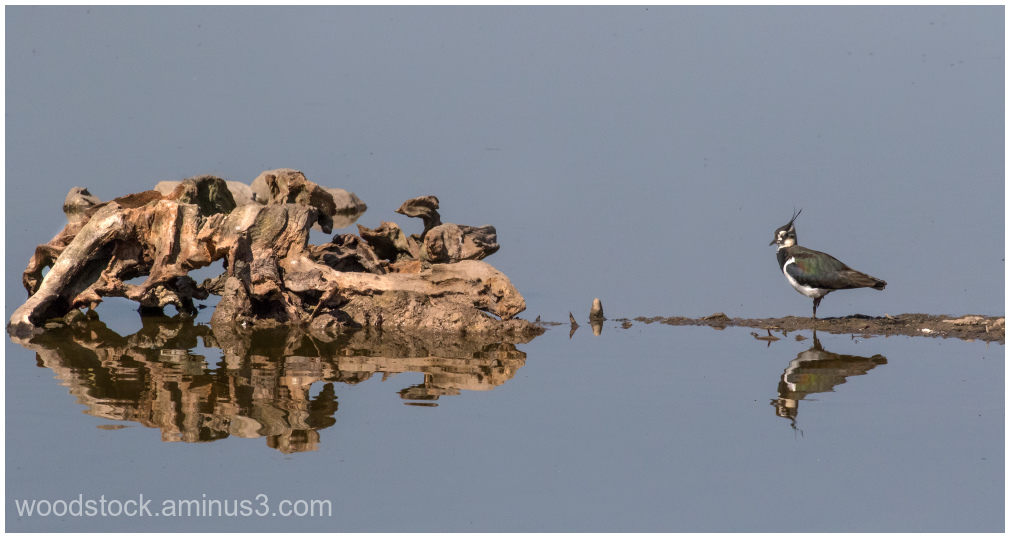 Lapwing and a Log