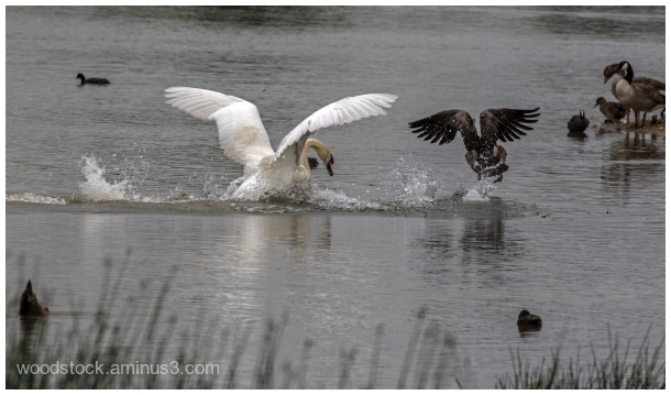 Swan v Canada Goose