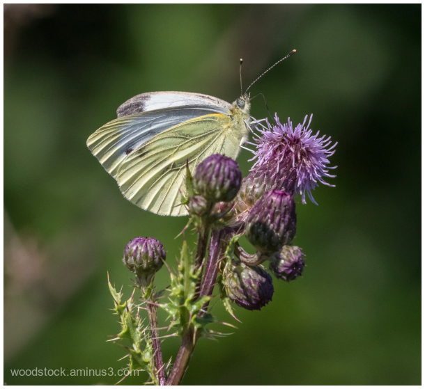 Is This A Cabbage White Butterfly?