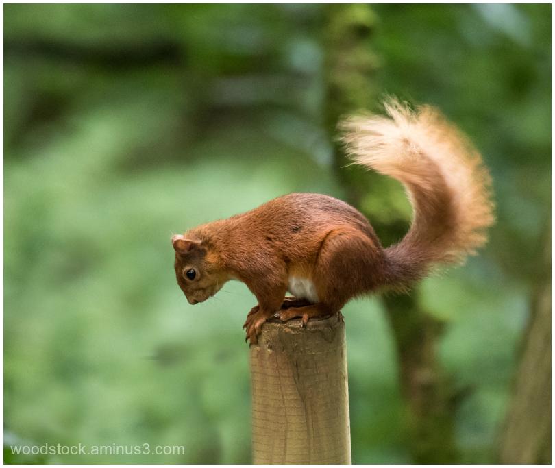 Red Squirrel At Kielder Water