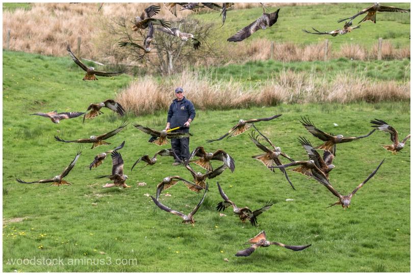 Feeding Time - Red Kites at Gigrin Farm