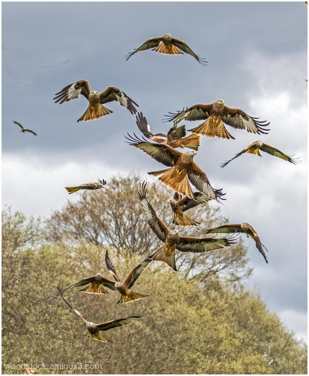 Red Kites