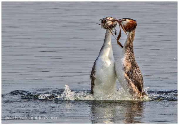Grete Crested Grebe Courtship Display