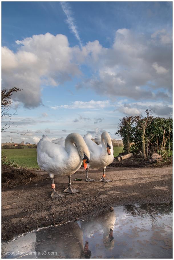 Swans taking a break