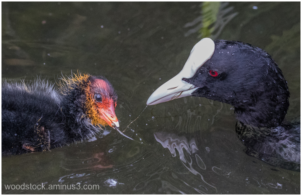 Coot and Son