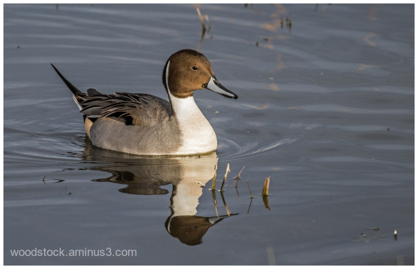 Pintail @ Slimbridge
