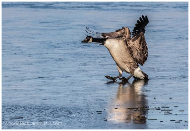 Canada Goose -  'Landing On Ice'