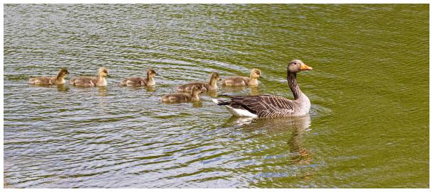 Greylag Family