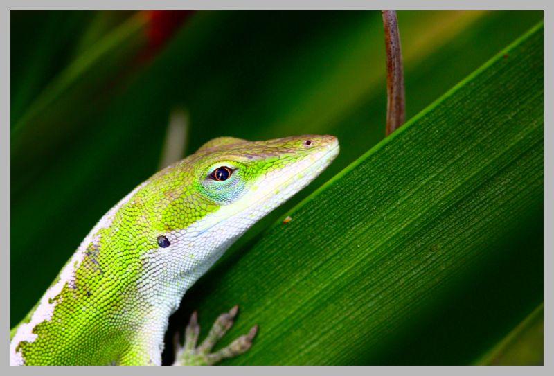Green Lizard resting