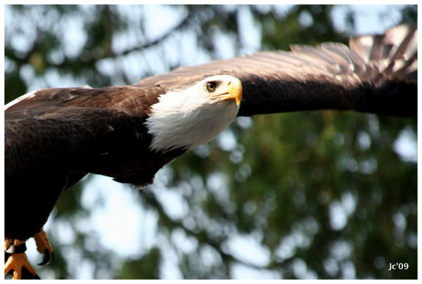 Bald Eagle - Stanley Park