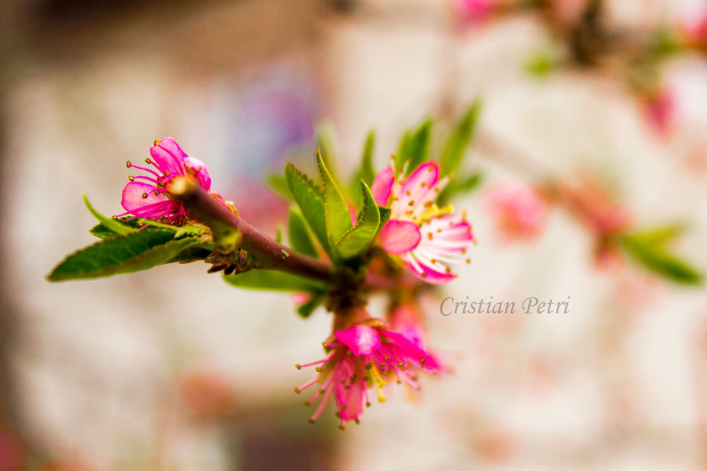 apricot flowers wrapped in pink