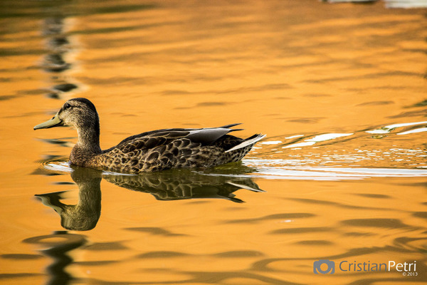 Duck on Millenaris Park lake