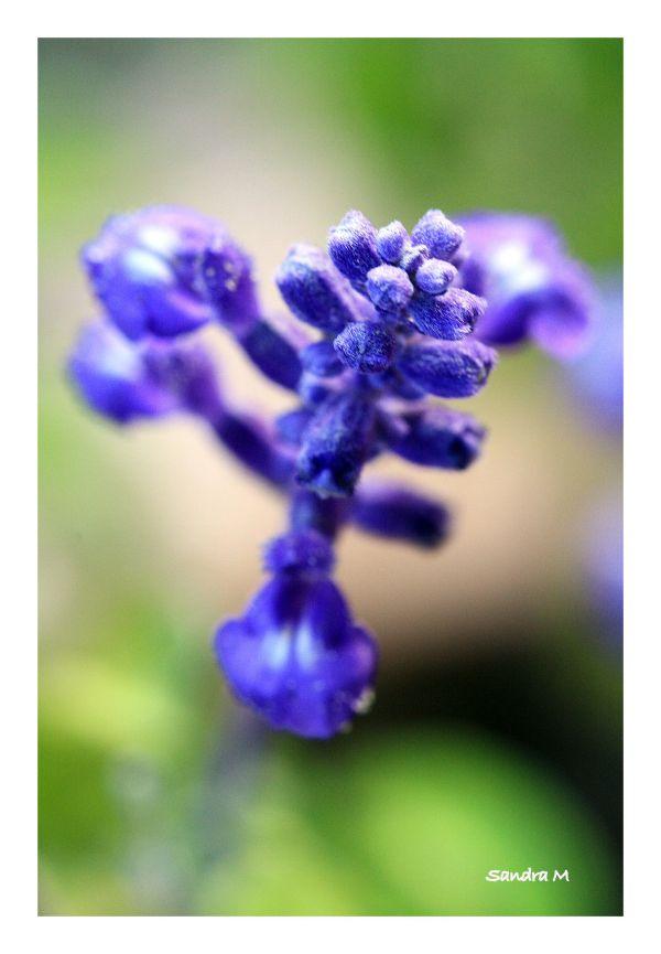 Sauge bleue