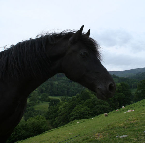 black beauty horse