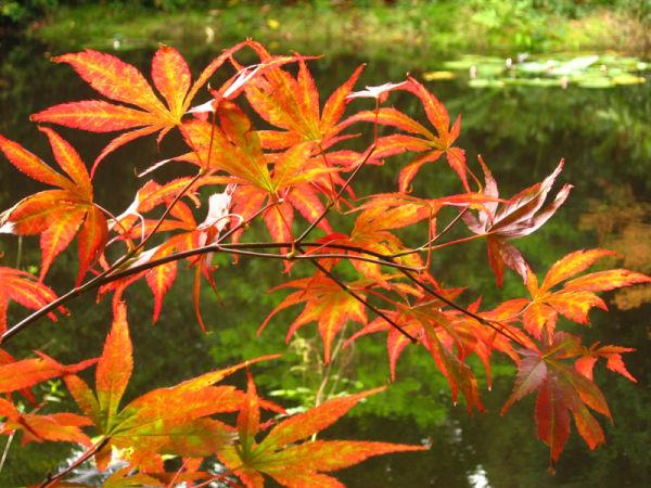japanese maple pond