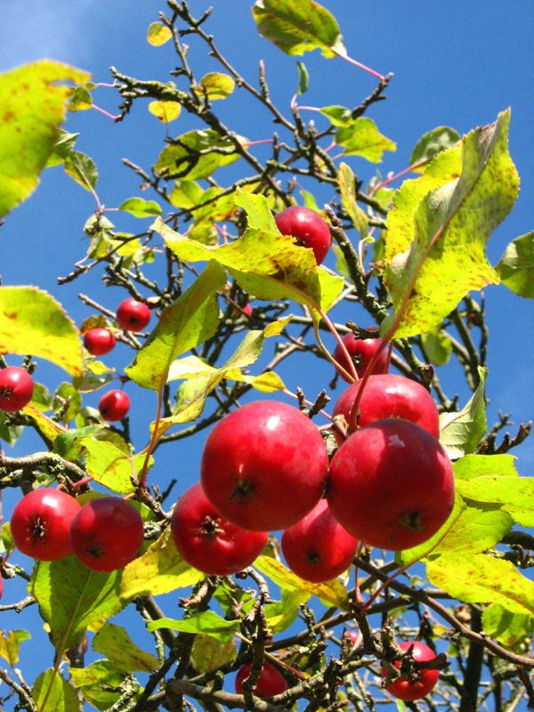 apple tree autumn