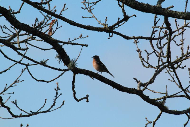 finch bird song